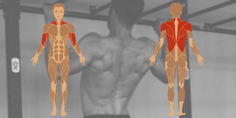 Klimmzüge Muskeln - Welche Muskelgruppen sind am Klimmzug beteiligt